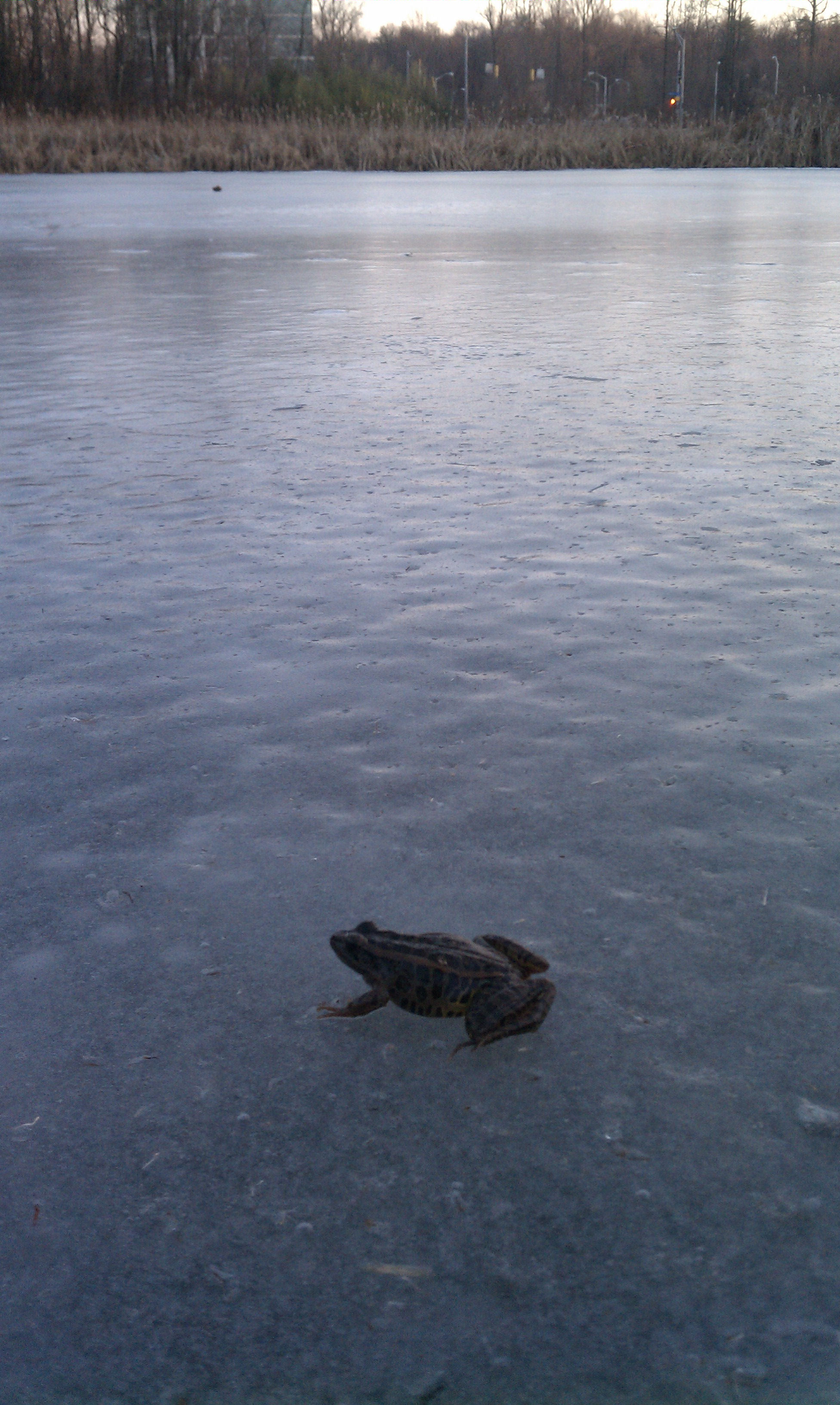 Amphibian On Ice by Cindy Cotte Griffiths